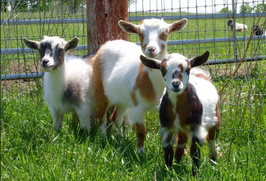 Facts About Keeping Goats